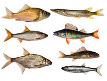 Seven Freshwater Fishes Collection Stock Images