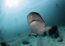 Seven Gill Shark. Seven gill, or cow shark, swimming amongst the kelp forests of False Bay, Simonstown, South Africa Royalty Free Stock Photos