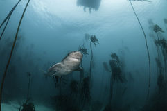Seven Gill Shark. Seven gill, or cow shark, swimming amongst the kelp forests of False Bay, Simonstown, South Africa Stock Photography