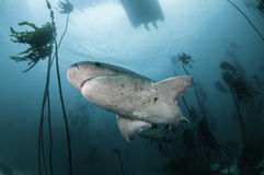 Seven Gill Shark. Seven gill, or cow shark, swimming amongst the kelp forests of False Bay, Simonstown, South Africa Royalty Free Stock Image