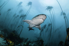 Seven Gill Shark. Seven gill, or cow shark, swimming amongst the kelp forests of False Bay, Simonstown, South Africa Stock Photo