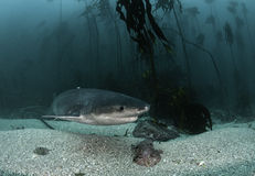 Seven Gill Shark. Seven gill, or cow shark, swimming amongst the kelp forests of False Bay, Simonstown, South Africa Stock Photos