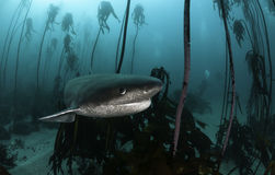 Seven Gill Shark. Seven gill, or cow shark, swimming amongst the kelp forests of False Bay, Simonstown, South Africa Stock Image