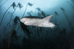 Seven Gill Shark. Seven gill, or cow shark, swimming amongst the kelp forests of False Bay, Simonstown, South Africa Stock Images