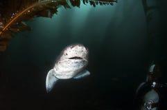 Seven Gill Shark Stock Photos