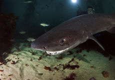 Seven Gill Shark Royalty Free Stock Photography