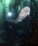 Seven Gill Shark Royalty Free Stock Photos