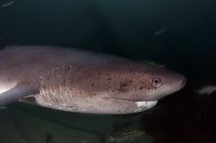 Seven Gill Shark Stock Photo