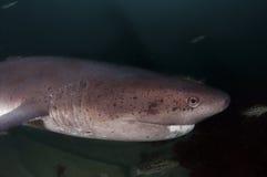 Seven Gill Shark Stock Photo