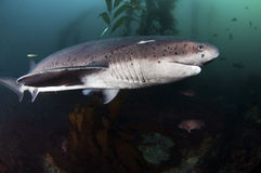 Seven Gill Shark Royalty Free Stock Images