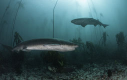 Seven Gill Sharks. Seven gill, or cow sharks, swimming amongst the kelp forests of False Bay, Simonstown, South Africa Royalty Free Stock Photography