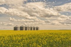 Line of Grain Silos in Canola Field Stock Photography