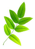 Seven green leaves Royalty Free Stock Image