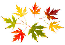 Seven high resolution autumn leaves of maple tree. Isolated on white background Royalty Free Stock Photo