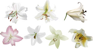 Seven ight lily blooms isolated on white Stock Photos