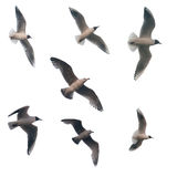 Seven Isolated Flying Seagulls Royalty Free Stock Image