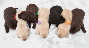 Seven labrador retriever puppies. (one week old stock images