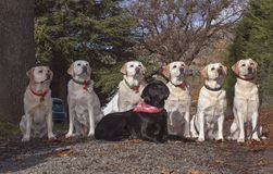 Family Group of Seven Labrador Retrievers Posed Outdoors stock images