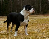 Seven month puppy of Old English Bulldog are posing. Seven month puppy of Old English Bulldog, posing in front of the camera in a tight pos royalty free stock images
