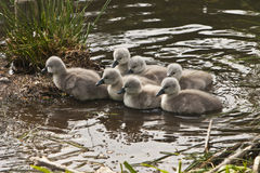 Seven mute swan cygnets Cygnus olor Stock Images