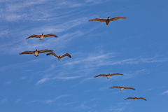 Seven pelicans flying in sun backlight Royalty Free Stock Photos