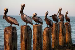 Seven Pelicans on Seven Wood Posts. At sunrise at the beach stock photos