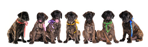 Seven puppies of bullmastiff isolated on white Stock Photos