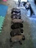 seven puppies stock image