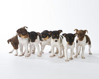 Seven Rat Terrier Puppies. In a row Stock Photography
