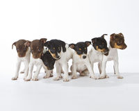 Seven Rat Terrier Puppies Stock Photos
