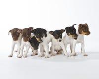 Seven Rat Terrier Puppies. In a row stock photos