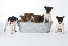 Seven Rat Terrier Puppies. In a bucket Royalty Free Stock Photography