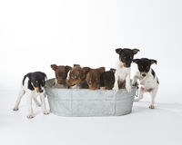 Seven Rat Terrier Puppies. In a bucket Royalty Free Stock Photos