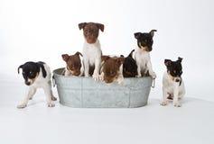 Seven Rat Terrier Puppies. In a bucket Stock Photos