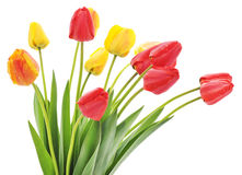 Seven red tulips Stock Photo