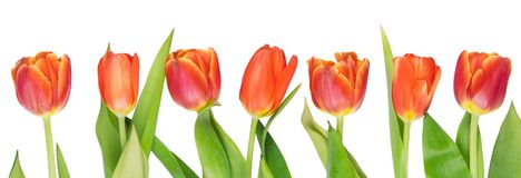 Seven red tulips grow up straight, against white. Background Stock Image