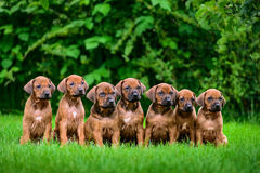 Seven Rhodesian Ridgeback puppies sitting in row on grass. Litter of seven adorable 1,5-month-old Rhodesian Ridgeback puppies sitting in a row on the green grass Royalty Free Stock Photography