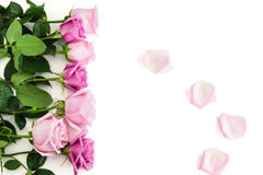 Seven roses on white background. Seven pink and blush isolated roses Stock Photography