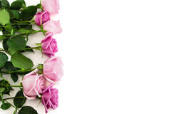 Seven roses on white background. Seven pink and blush isolated roses Royalty Free Stock Photography