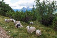 Sheep siesta, Alps, Slovenia royalty free stock photos