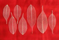 Seven skeletonized leaf ficus (Ficus benjamina) Royalty Free Stock Photo