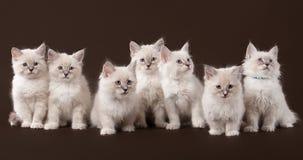 Seven small siberian kittens on dark brown Stock Photos