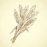Seven spikelets of wheat. Vector drawing. Caryopsis bundle group on white backdrop. Freehand line black ink hand drawn logo sketchy in art retro scribble cartoon Stock Images