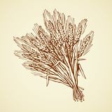 Seven spikelets of wheat. Vector drawing. Whole healthy ripe dry caryopsis plant stalk bundle on white backdrop. Freehand outline golden ink hand drawn logo Stock Photography