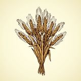 Seven spikelets of wheat. Vector drawing. Whole healthy ripe dry caryopsis plant stalk bundle on white backdrop. Freehand outline golden ink hand drawn logo Stock Photos