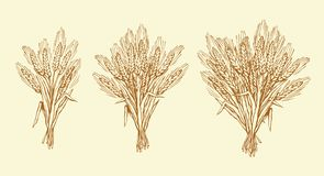 Seven spikelets of wheat. Vector drawing. Whole healthy ripe dry caryopsis plant stalk bundle on white backdrop. Freehand outline golden ink hand drawn logo Stock Image
