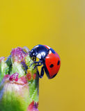 Seven spot ladybird Royalty Free Stock Images