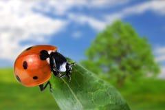 Seven-spot ladybird Royalty Free Stock Image