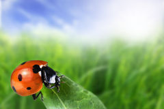 Seven-spot ladybird Royalty Free Stock Images