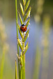 Seven spot ladybird Royalty Free Stock Photography